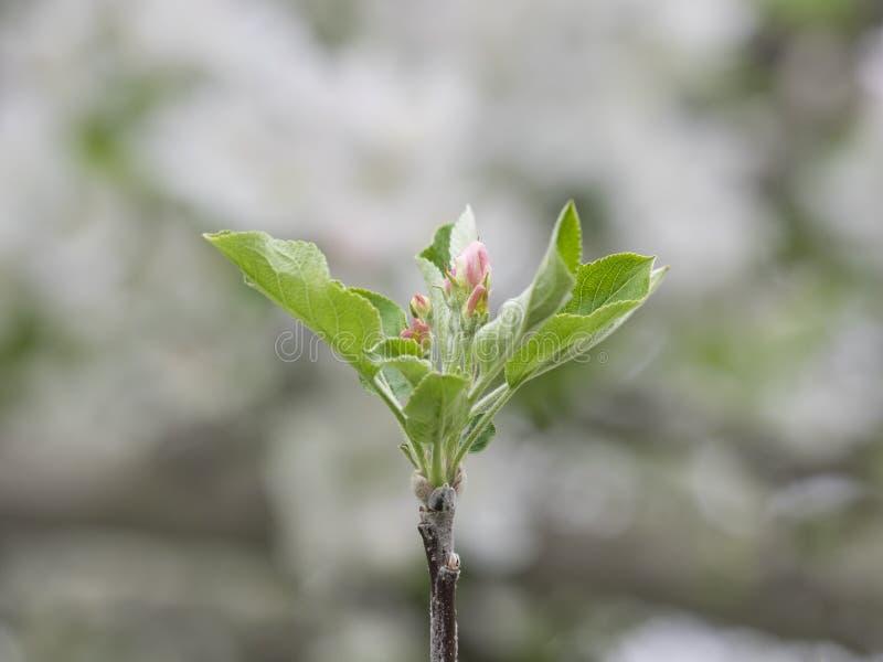 Apple rosado florece los brotes en primavera contra fondo blanco suave imagen de archivo libre de regalías
