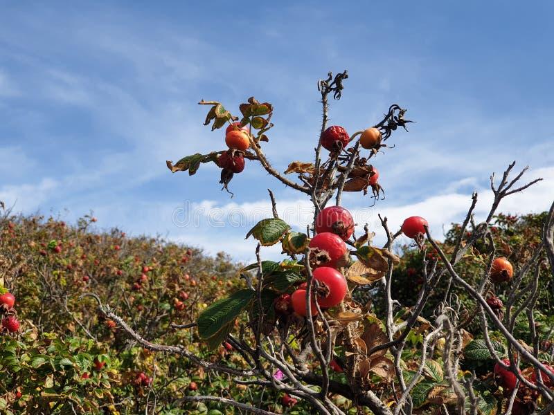 Apple Rose met rode bessen in de duinen van Noordwijk in Nederland stock afbeelding