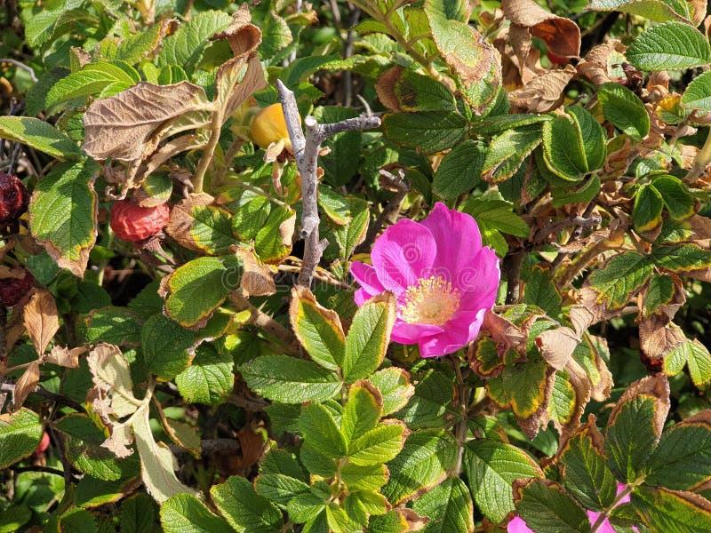 Apple Rose met rode bessen in de duinen van Noordwijk in Nederland stock foto's