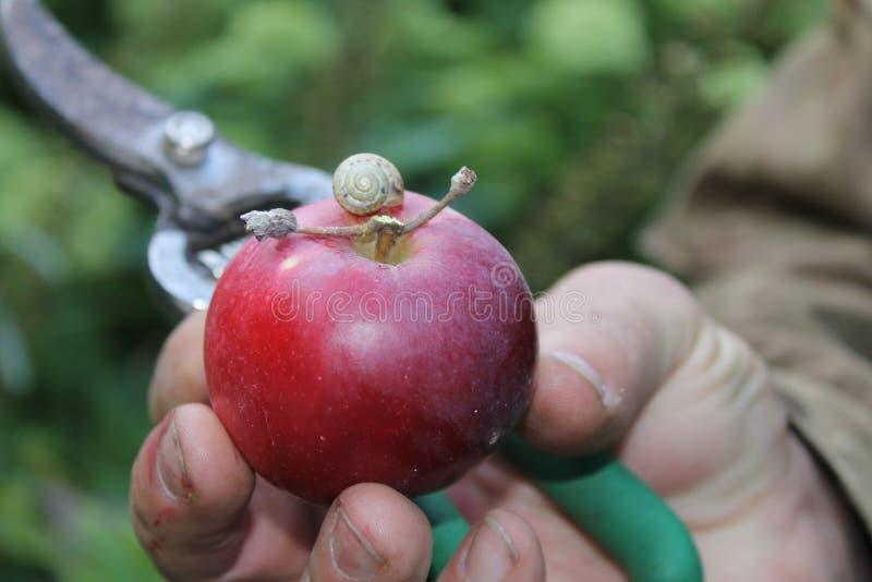 Apple rosso con la lumaca, la mano maschio e le forbici del giardino immagini stock libere da diritti