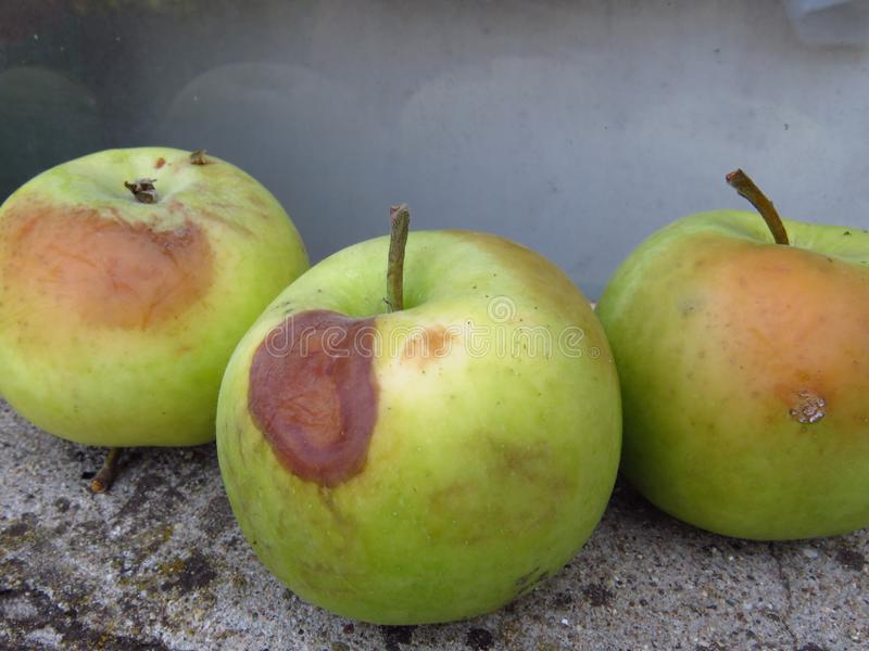 Apple rot and other fruit rot fungi. Spoiled orchard apple fruit harvest. Rotten apples. stock photo