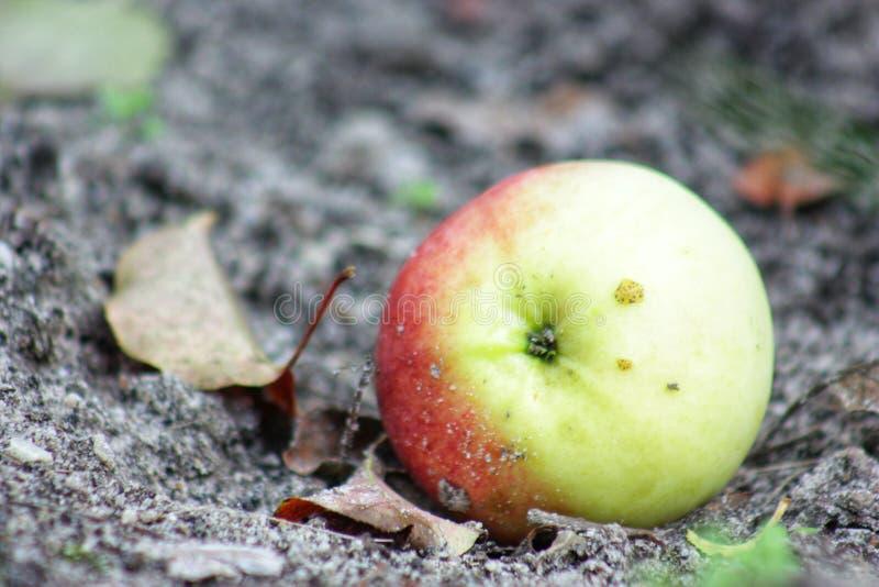 Apple rougeaud est tombé à la terre images libres de droits