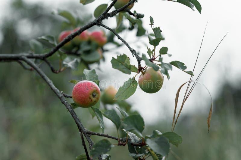 Download Apple Rustique Avec Les Pommes Rouges Sur Le Fond Vert Image stock - Image du fruit, closeup: 76076823