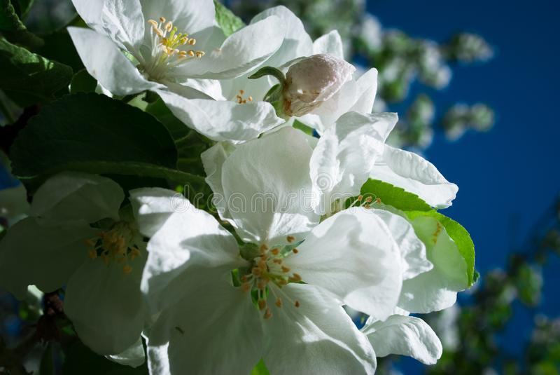 Apple sboccia fiori in primavera, fiorente sul giovane ramo di albero a fotografie stock libere da diritti
