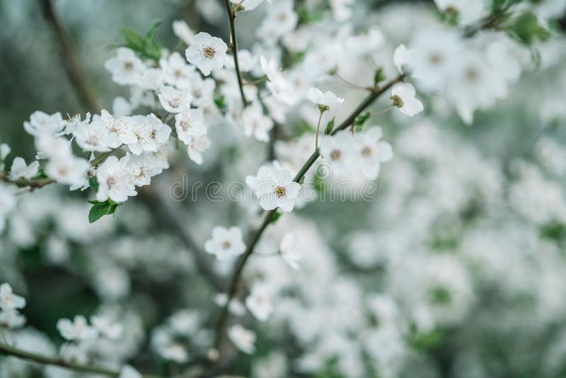 Apple sboccia fondo Modello di fiori di stagione primaverile fotografia stock