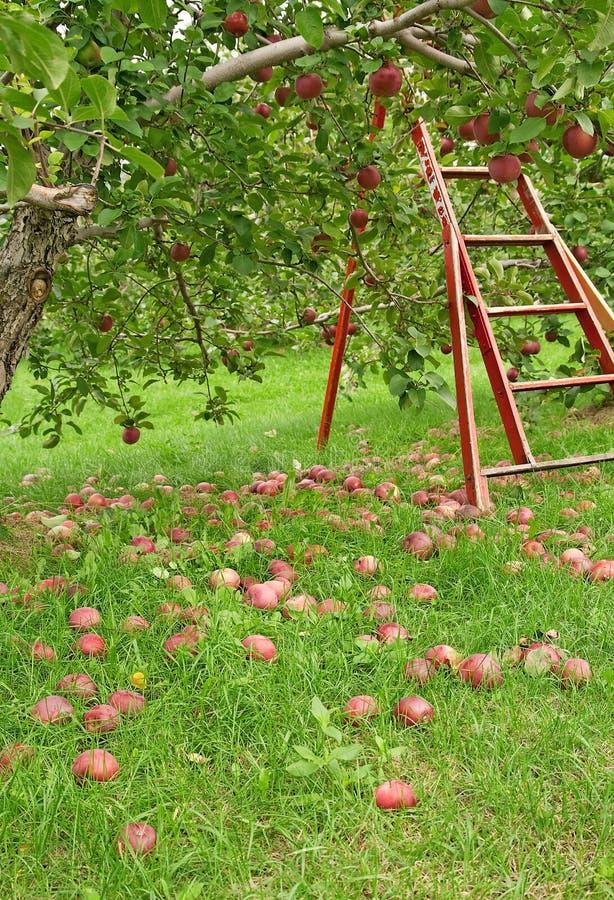 Apple season stock images