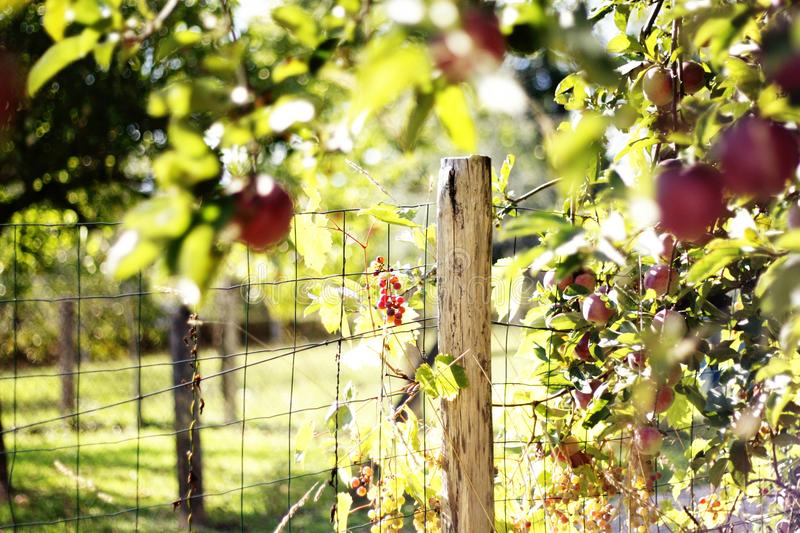 The apple season. When the apple season comes she has so much of a childhood scent for me royalty free stock image