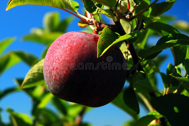Apple Season. An apple is ready to be picked from its tree royalty free stock photo