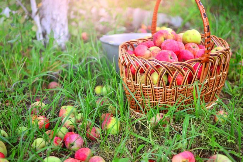 Apple skörd i en trädgård royaltyfria bilder