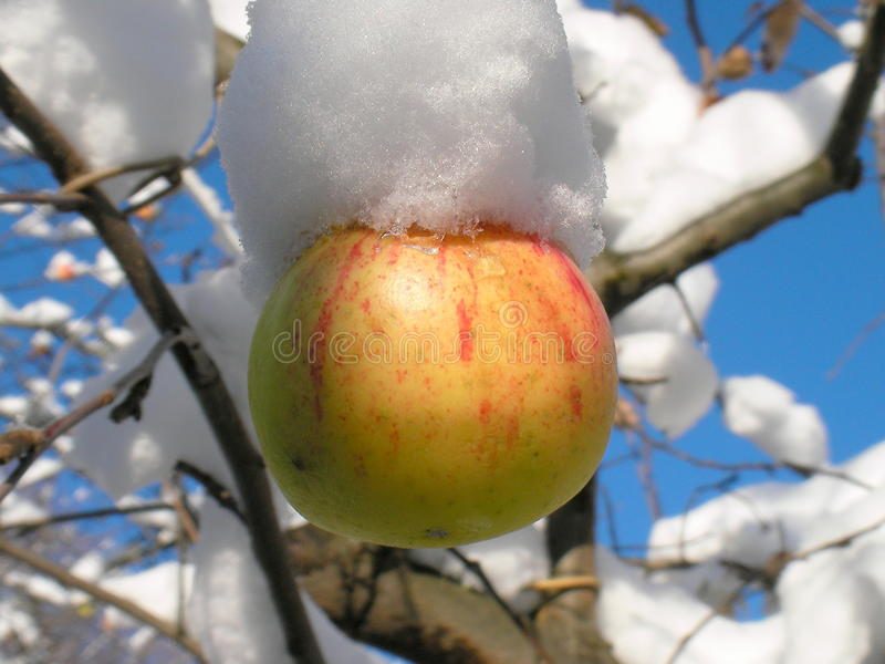 Apple and snow stock photo