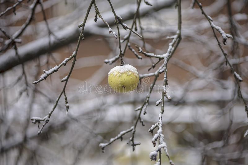 Apple and snow. royalty free stock images