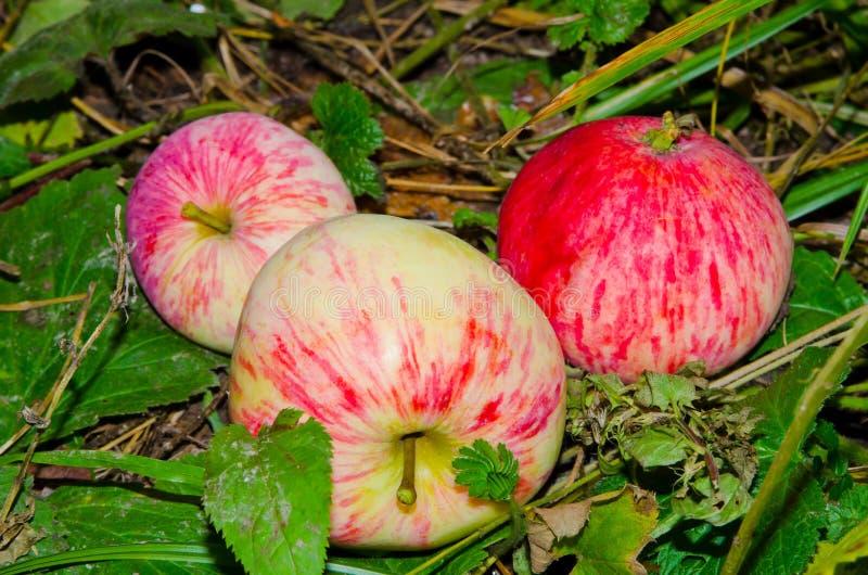 Apple som ligger på jordningen royaltyfri fotografi