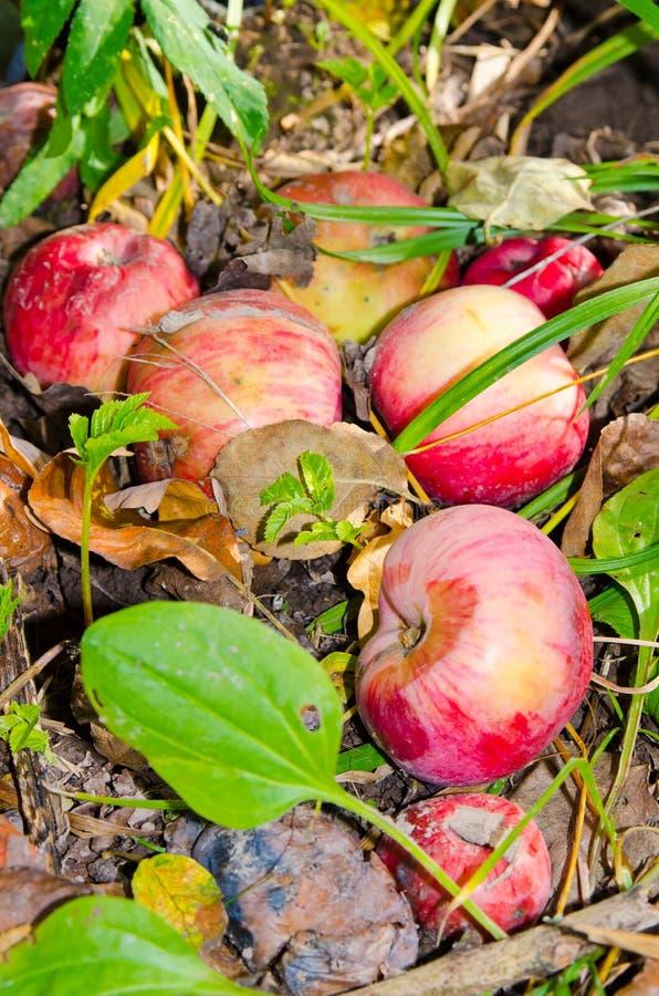 Apple som ligger på jordningen arkivbilder