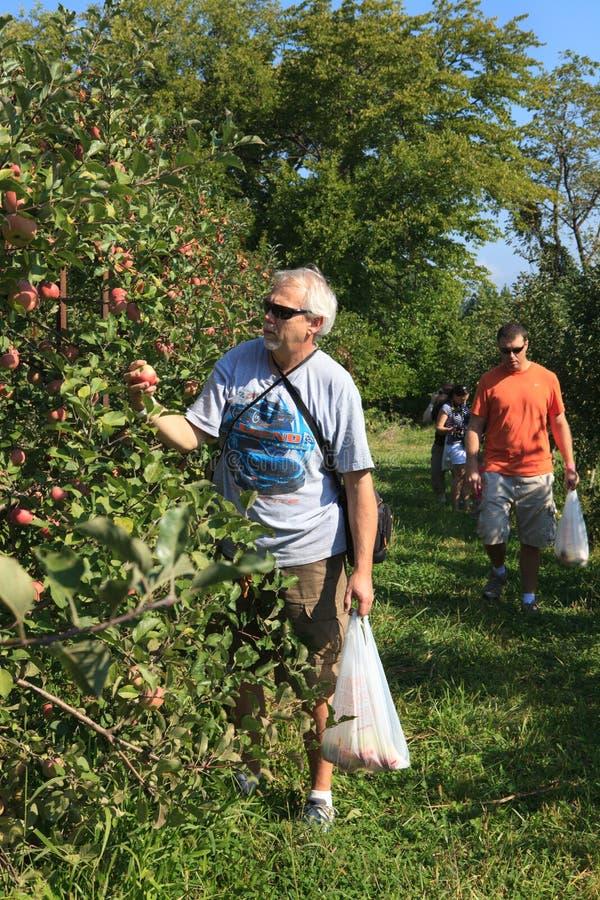 Apple Som Väljer Aktivitet För Virginia Fruktträdgårdfamilj Redaktionell Arkivbild