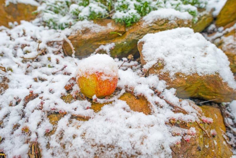 Apple spadać w śniegu w rockery zdjęcie stock