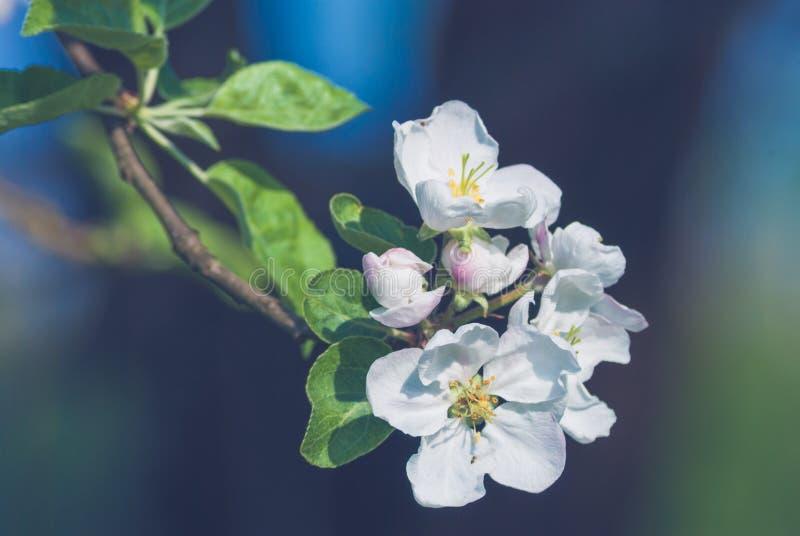 Apple spring flowers stock photo