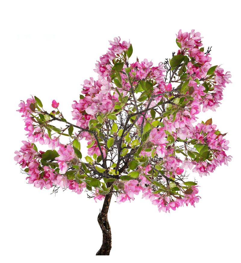 Apple spring tree with large pink blooms stock image image of download apple spring tree with large pink blooms stock image image of spring plant mightylinksfo