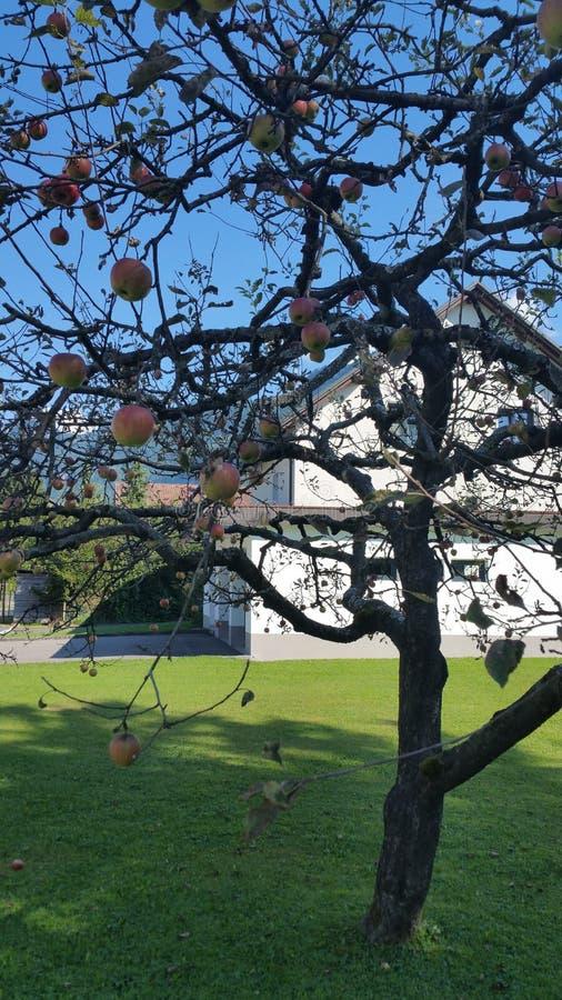 apple stare drzewo zdjęcia stock
