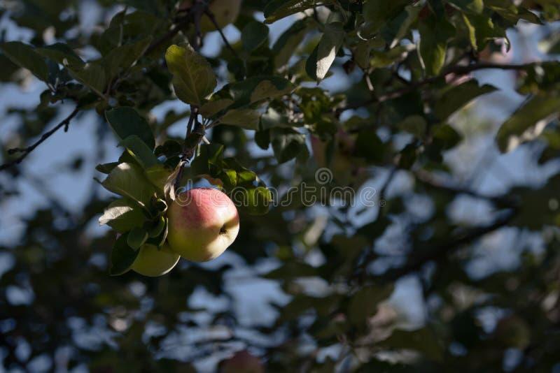 Apple su di melo immagine stock
