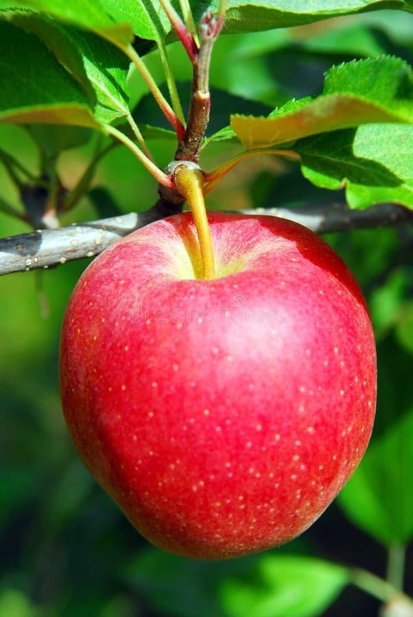 Apple su un albero fotografia stock libera da diritti