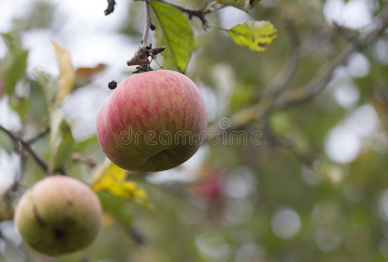 Apple sur l'appletree photographie stock
