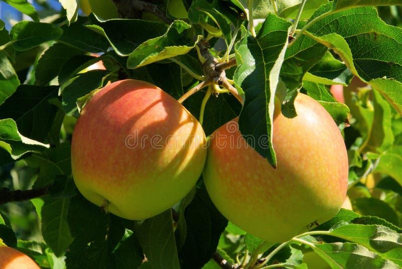 Apple sur l'arbre photo stock