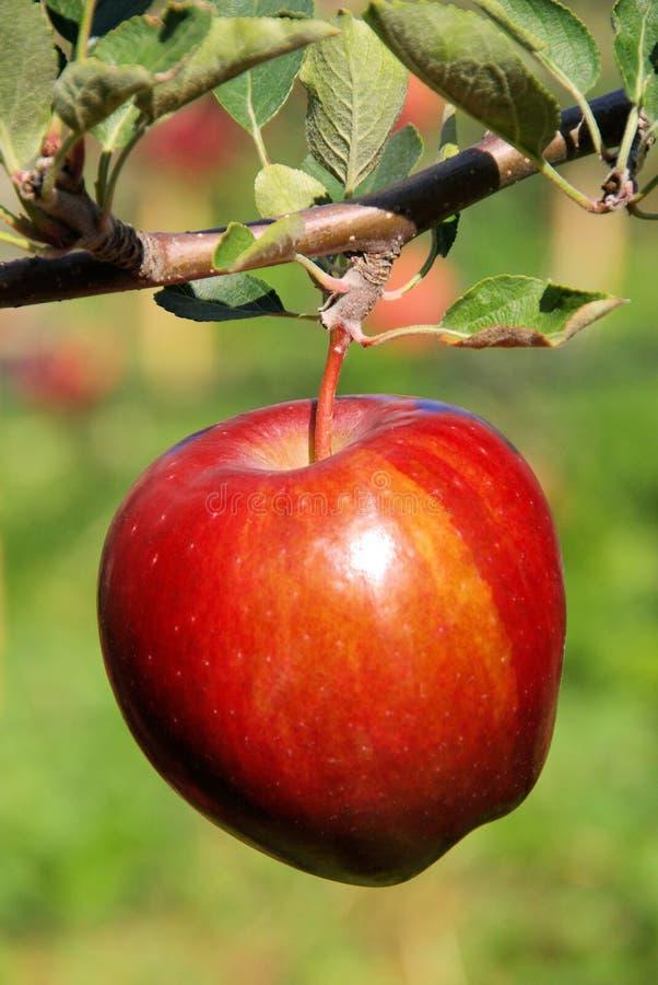 Apple sur l'arbre photographie stock libre de droits
