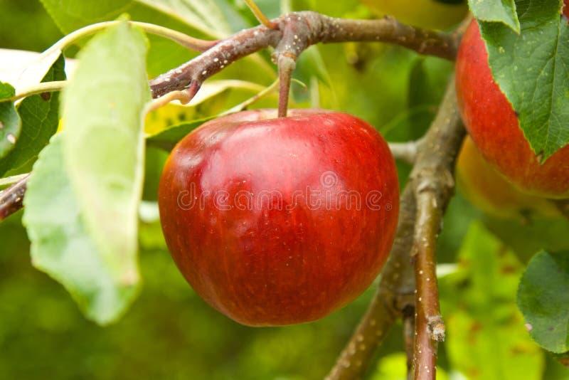 Apple sur l'arbre image stock