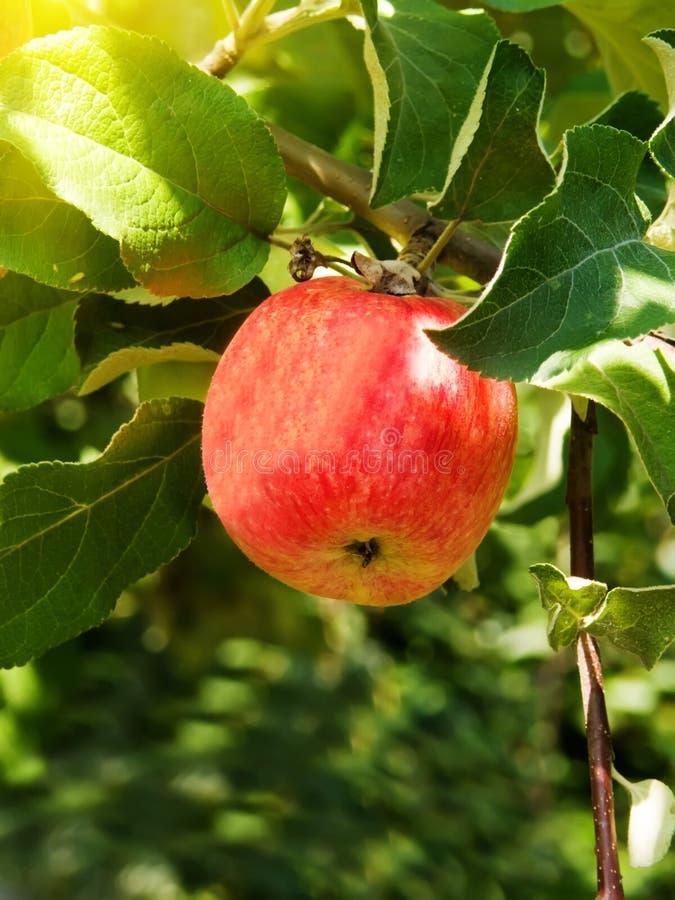 Apple sur un arbre photo libre de droits