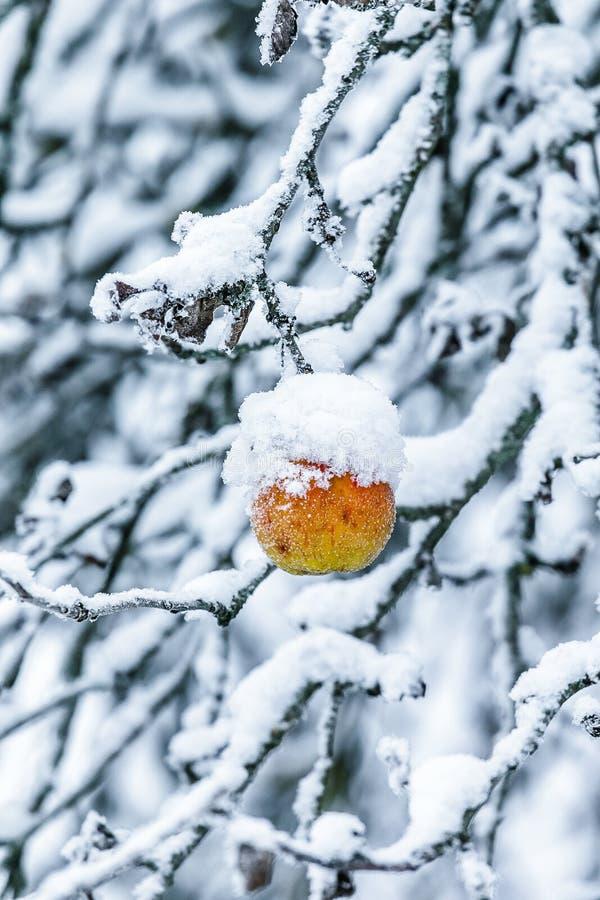 Download Apple Sur Une Branche Couverte De Neige Photo stock - Image du congelé, nature: 87707968