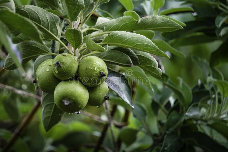 An apple is a sweet, edible fruit produced by an apple tree Malus domestica stock photos
