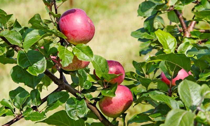 Apple träd. fotografering för bildbyråer