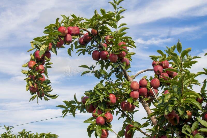 Apple träd i äpplefruktträdgård i upstate NY royaltyfri fotografi