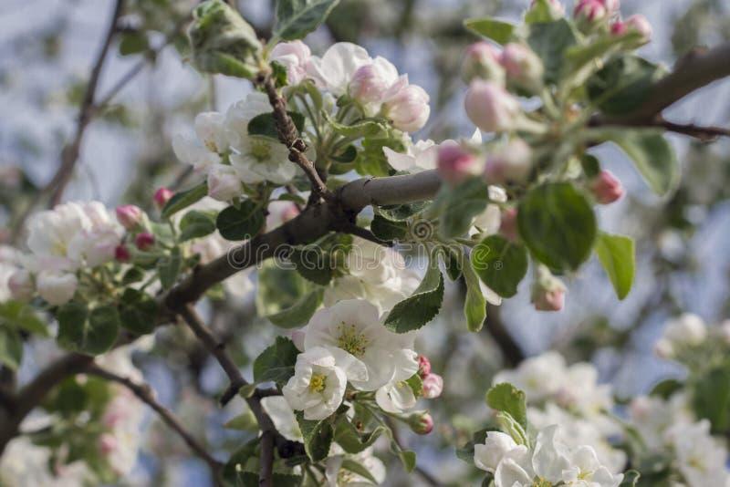 Apple träd i blom, filial royaltyfria bilder