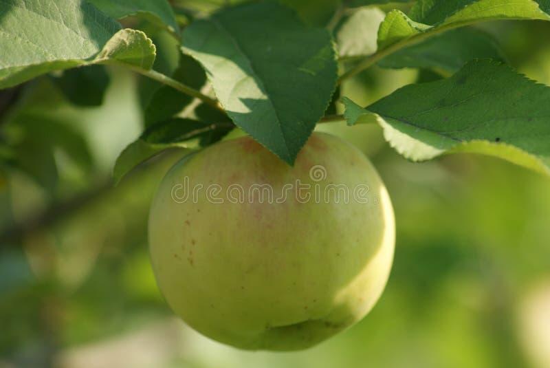 Apple träd i nedgång royaltyfri foto