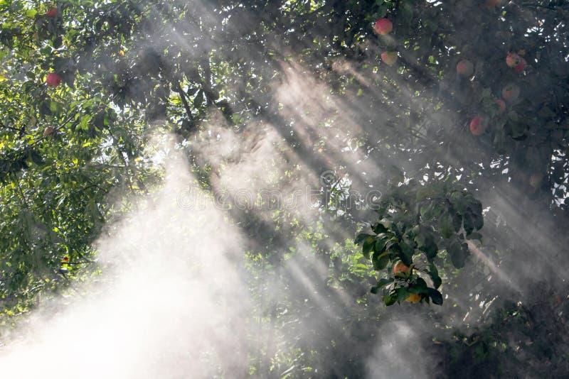 Apple träd i rök pusta och att desinficera fruktträd för att skydda mot larver royaltyfri fotografi