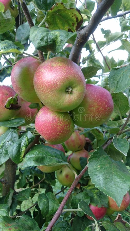 Apple träd med frukter som hänger från dess filialer arkivfoto