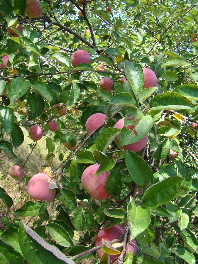 Apple träd med mogna äpplen arkivfoto