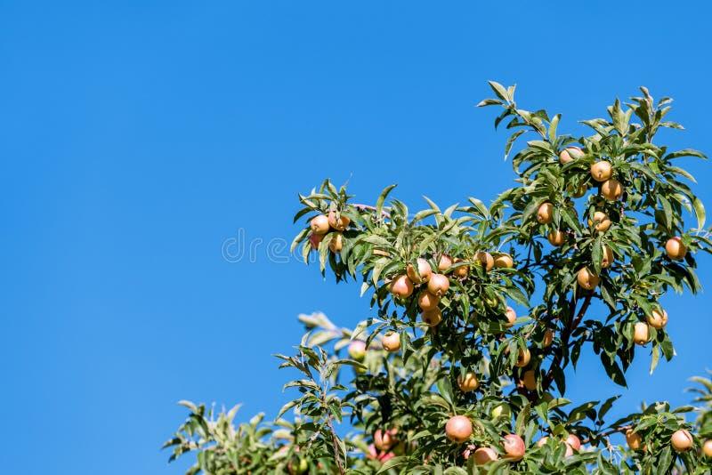 Apple träd med mogna äpplen på bakgrund för blå himmel arkivfoton