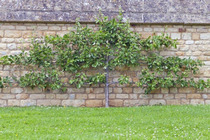 Apple träd på en limefruktstenvägg, Cotswolds trädgård, UK royaltyfri fotografi