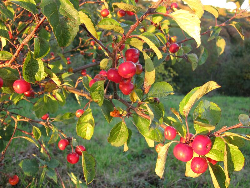 Apple träd på nedgången arkivbild