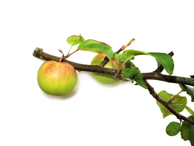 Apple trädfilial med mogna äpplen som isoleras på vit bakgrund arkivfoto