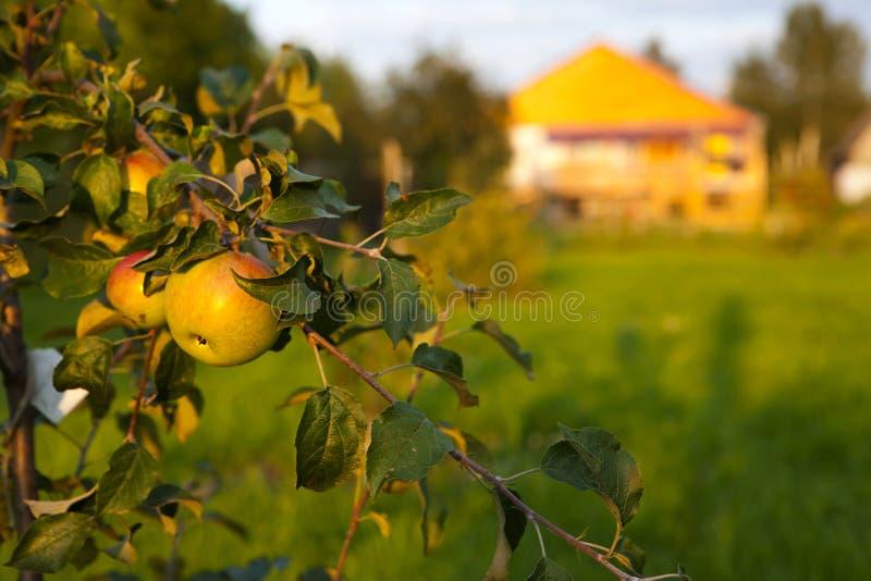 Apple trädfilial med mogna röda och gula äpplen på bakgrunden av trädgården och lantbrukarhemmet arkivfoto
