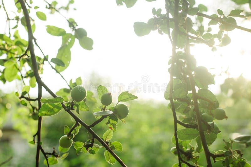 Apple trädfilial med ung grön frukt i sommarträdgård soligt royaltyfria bilder