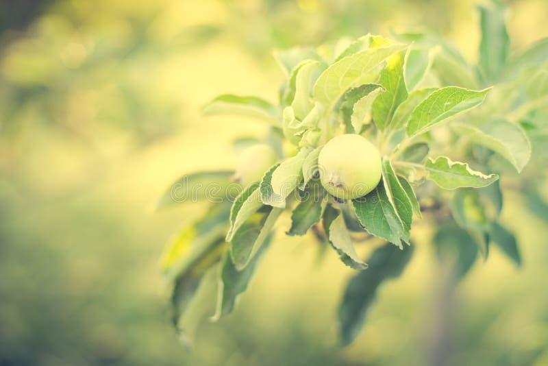 Apple trädfilial med ung grön frukt royaltyfri foto