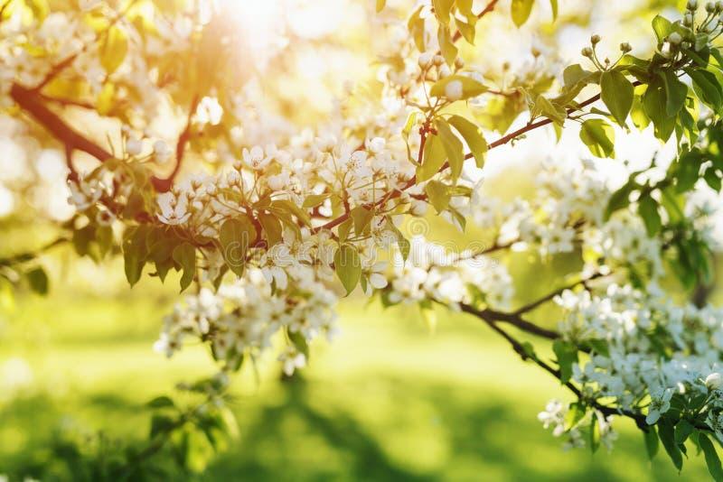 Apple trädgård i varmt solnedgångljus royaltyfri foto