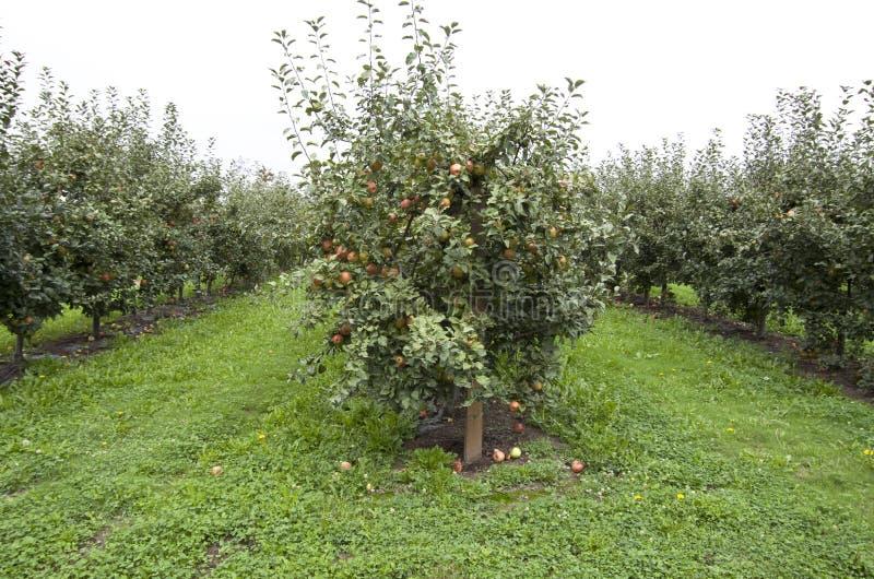 Apple trädlantgård royaltyfria bilder