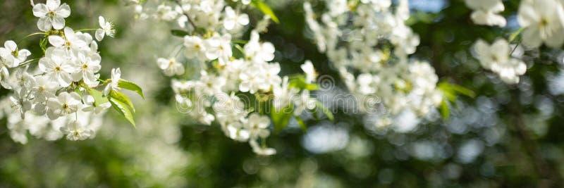 Apple tr?dfilial med vita blommor p? suddig bakgrund royaltyfri bild
