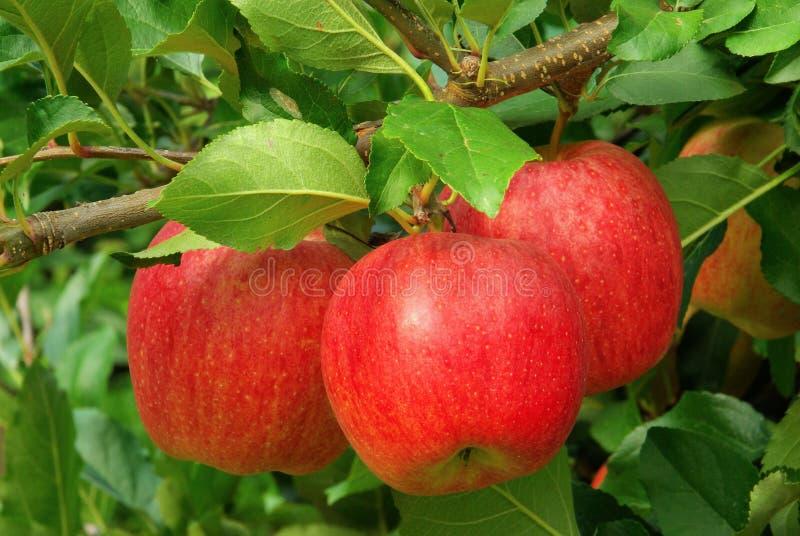 Apple on tree. Red apple on tree, harvest time stock image