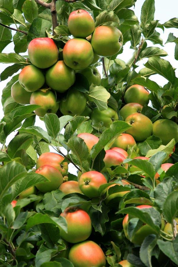 Apple tree. stock photos